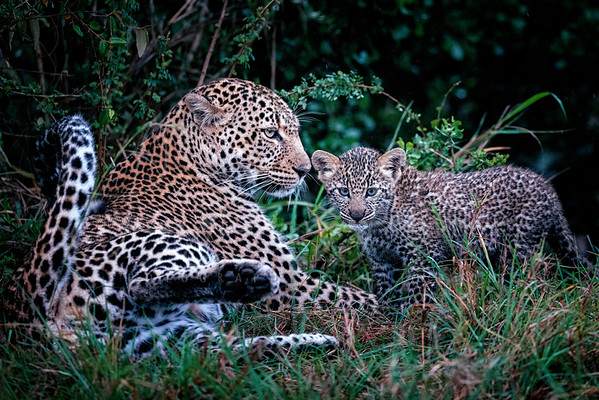 Leopard and Cub Masai Mara