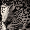 Leopard portrait bnw
