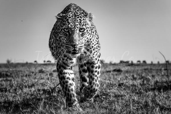 Grandma Leopard stare down bnw