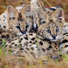 Serval Cat Mothers Love 2