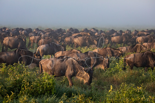Wildebeast Migration in full force