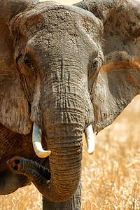 Elephant Stare