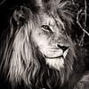 Bnw King