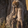 Wild small cub, trying to climb a tree in the grasslands of Masai Mara in Kenya, Africa