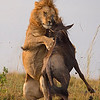 Lion attacking a wildebeest