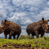 Low Angle White Rhinos