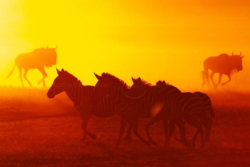 Silhouette of a running herd of Wildebeests and Zebras throwing up dust at sunrise in Masai Mara Wildlife Refuge in Kenya