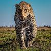 Grandma Leopard staredown 2