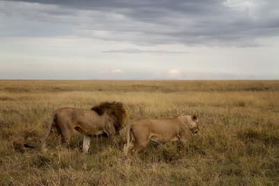 Two Lions Walking Away
