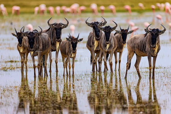 Wildebeest reflection