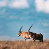 Simple Oryx
