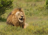 Lion at Addo Elephant Park, South Africa