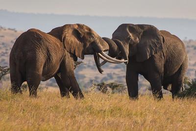 Bull Elephants Fighting, Kenya