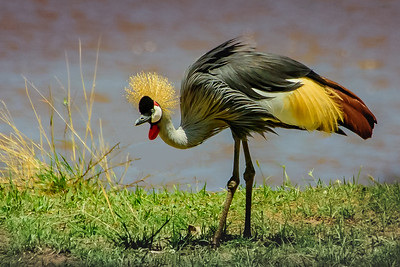 Gray Crowned Crane 0872