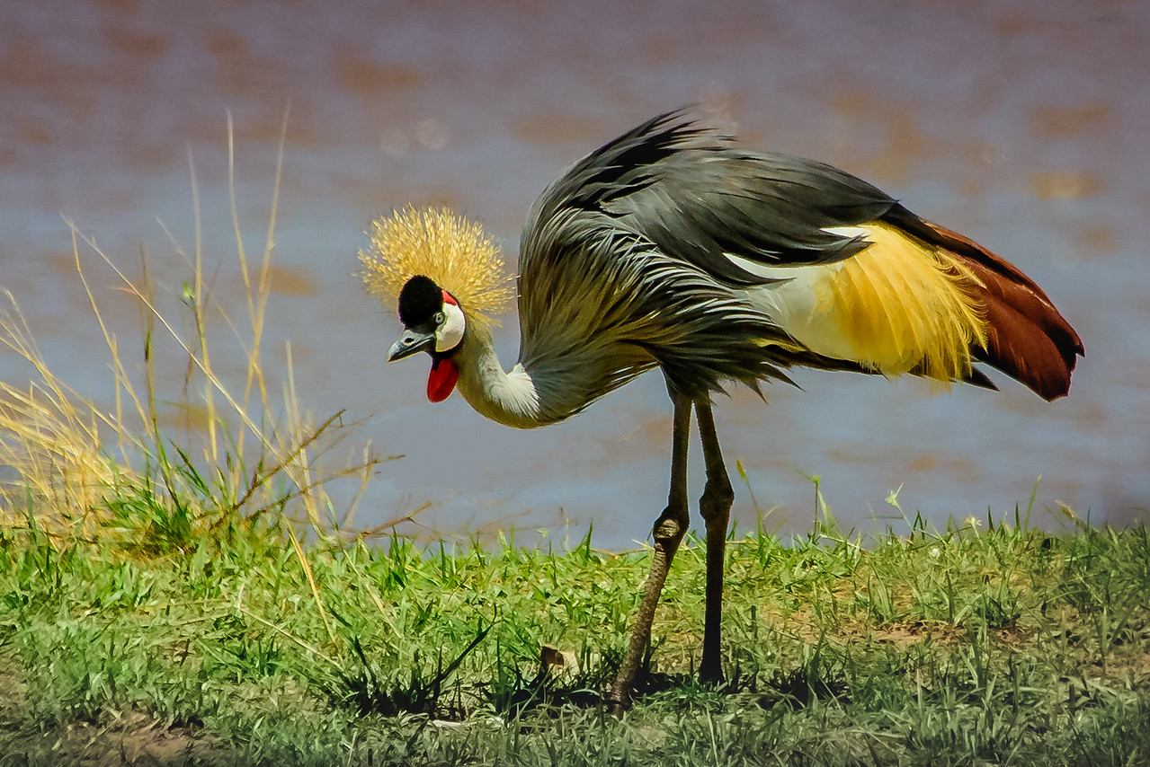 Gray Crowned Crane 0872
