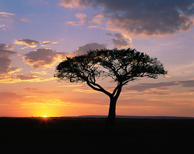 Kenya, Masai Mara National Reserve / Sunset behind silhouetted Acacia, Egyptica baratites, with vultures roosting at top.   804H11