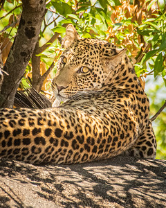 Leopard 1838