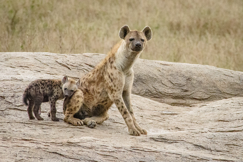 Spotted Hyena and cub 9170