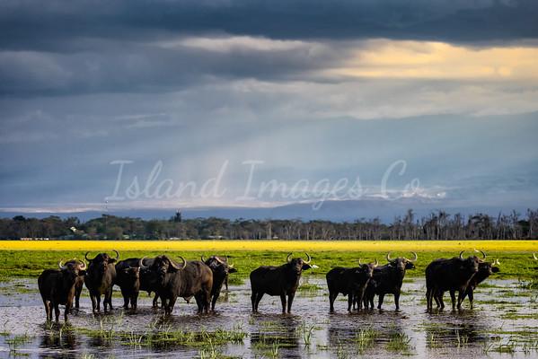 Ambolseli Buffalos