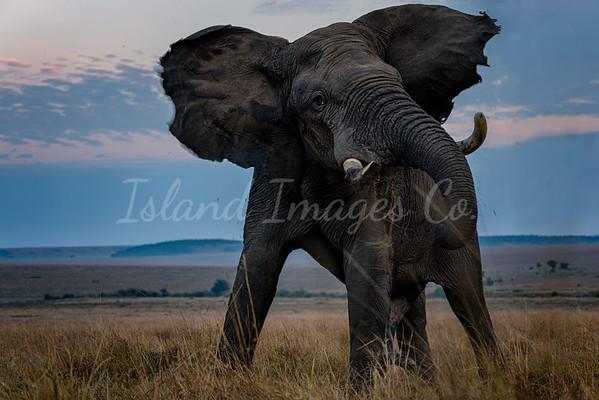 Mara tusker