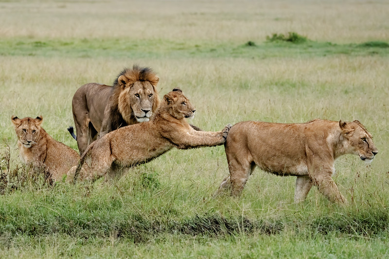 A male lion's plans for love are twarted by a cub
