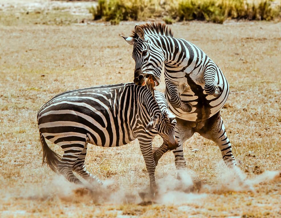 The Fight - Zebras in the Masai Mara