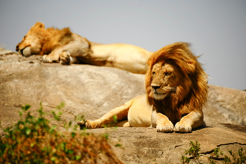 If a young, male lion has been kicked out of its pride, they often associate with other young males, until they are old enough and strong enough to challenge a leader of another pride.