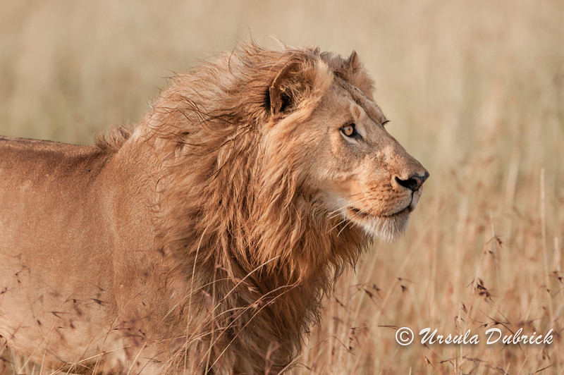 King of the Jungle - Masai Mara, Kenya