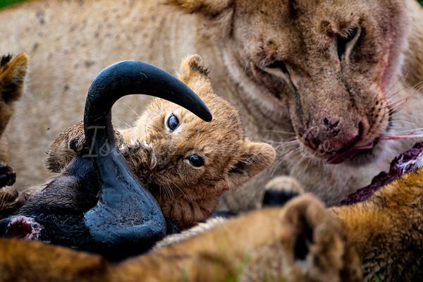 Cute lion cubs