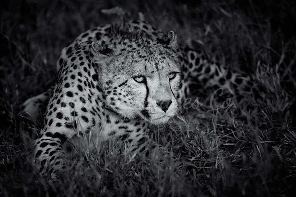Cheetah Blk and White 2