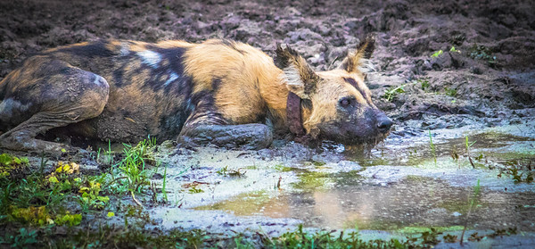 Alpha wild dog.  S Luangwa National Park
