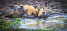 Alpha wild dog.  S Luangwa National Park