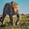 Grandma Leopard staredown