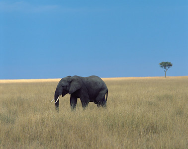 Kenya, Masai Mara National Reserve /  African Elephant, Loxodonta africana, in deep golden grassland in afternoon light with lone Acacia. 804H4