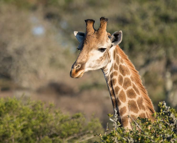 Giraffe at sunrise, South Africa