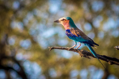 Lilac breasted roller.  Zambia