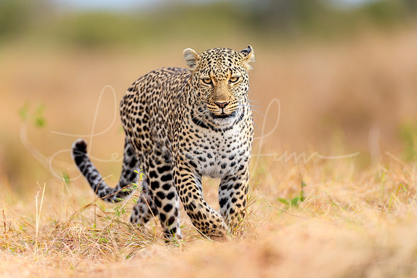 Momma leopard