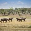 Cape Buffalo 8758