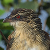 White Browed Coucal