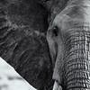 Elephant portrait bnw