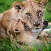 Mother Lion color