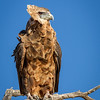 Immature Bateleur Eagle