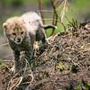 Baby cheetah cubs playing 2