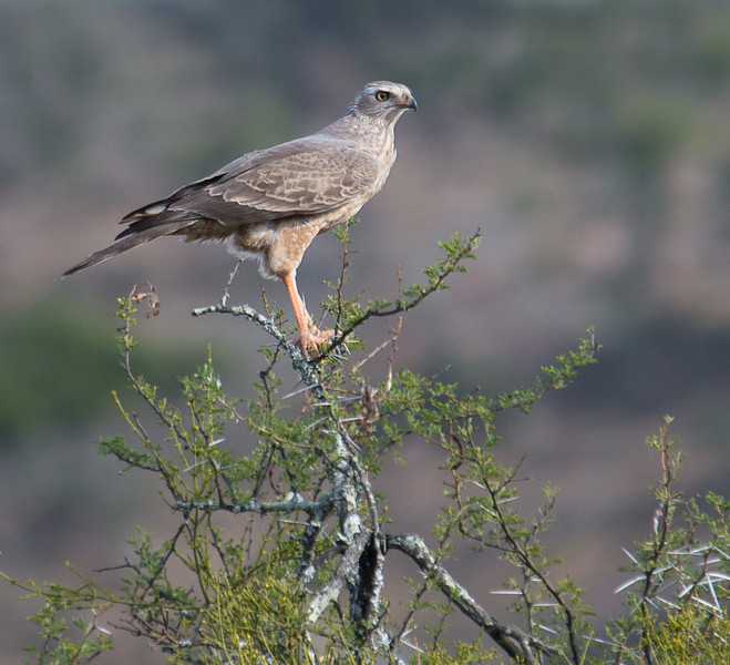 Pale Chanting Goshawk, South Africa