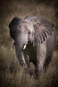 Baby Elephant, Tanzania
