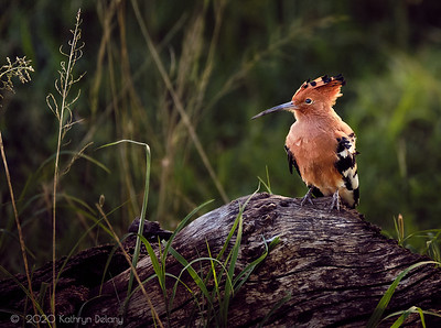 Hoopoe in the woods