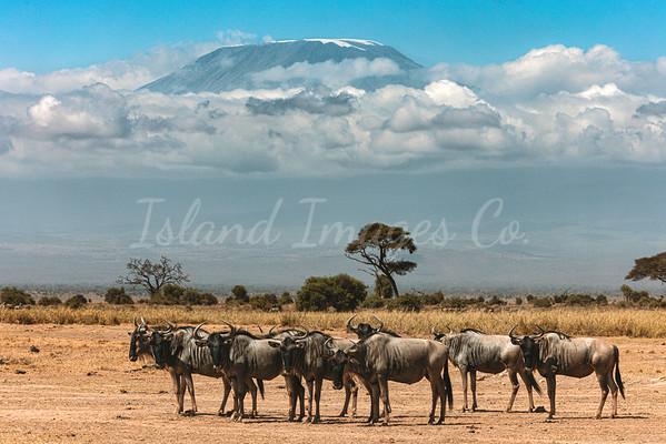 Wildebeest under kilimenjaro