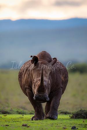 Rhino Frontal