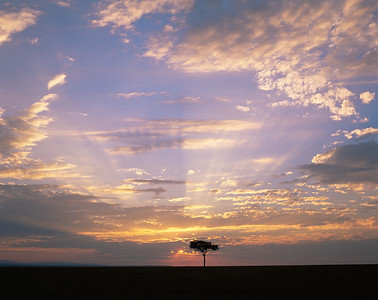 Kenya, Masai Mara National Reserve / Sunset behind silhouetted Acacia, Egyptica baratites , with rays of rising sun. 804H1