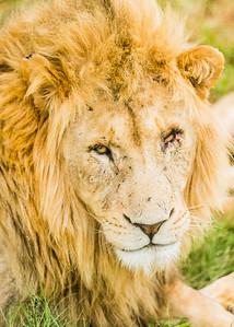 20170104_Lion_001